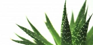 Propiedades del Aloe Vera, la planta milagro más antigua